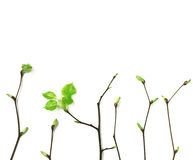 Young spring branches with leaves on white background Royalty Free Stock Images
