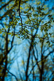 Young spring buds Royalty Free Stock Photography