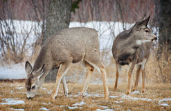Young Spring Deer Stock Image