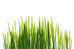 Young spring grass in bright sunlight isolated Stock Images