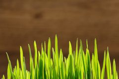 Young spring grass in bright sunlight on wooden background Royalty Free Stock Image