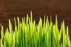 Young spring grass in bright sunlight on wooden background Stock Images