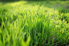 Young spring grass growing from fertilizer. Young spring grass from fertilizer. Fresh natural grass close-up with blurred background. Eco concept Royalty Free Stock Images