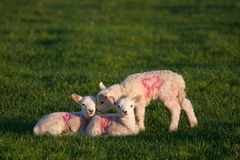 Young spring lambs Royalty Free Stock Image