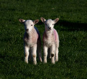 Young spring lambs Royalty Free Stock Images