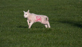 Young spring lambs Royalty Free Stock Photography