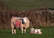 Young spring lambs. In a field on the Isle of Anglesey North Wales royalty free stock photos