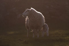 Young spring lambs. In a field on the Isle of Anglesey North Wales royalty free stock images