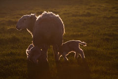Young spring lambs. In a field on the Isle of Anglesey North Wales stock photography