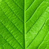 Young spring leaf. Green young spring leaf isolated, high resolution macro stock image