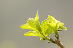 Young spring leaf. Royalty Free Stock Images