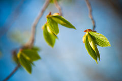 Young spring leaves. Closeup on blue background Stock Photography