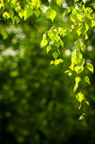 Young spring leaves. Of birch background Royalty Free Stock Photo