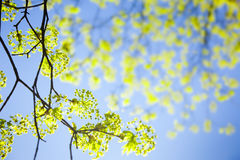 Young spring  leaves against the sky Royalty Free Stock Images