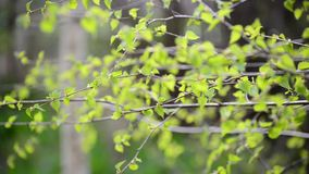 Young spring leaves on  birch tree in the wind stock video footage
