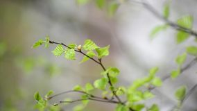 Young spring leaves on  birch tree in the wind stock video