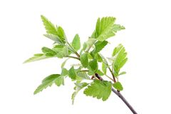 Young spring leaves on the branch Stock Image