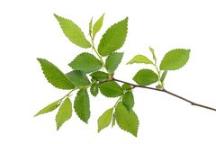 Young spring leaves on the branch royalty free stock photo