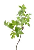 Young spring leaves on the branch Royalty Free Stock Photography