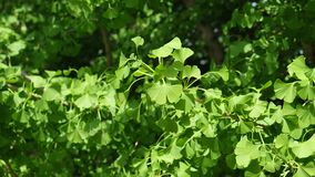 Young spring leaves of Ginkgo Biloba tree in mild breeze, 4K. Young spring leaves of Ginkgo Biloba tree, also called Maidenhair tree,  native in China, in mild stock footage