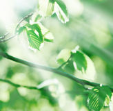 Young spring leaves lit by sunlight (sun rays) Stock Photos