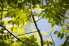 Young Spring Leaves. In Mount Royal Park, Montreal, Canada Royalty Free Stock Photography