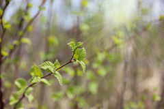 Young spring leaves Royalty Free Stock Photos