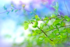 Young spring leaves after rain Royalty Free Stock Photos