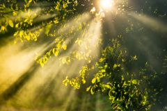 Sun rays at sunrise. Young spring leaves, sun shine and mist fog rays royalty free stock images