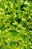 Young Spring Lettuce Royalty Free Stock Image