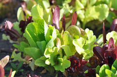 Young Spring Lettuce Stock Photos