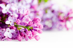 Young spring lilac flowers blooming. On white Stock Photography