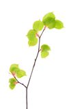 Young spring linden leaves on the branch isolated on white Stock Photos