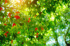 Young spring maple leaf in forest on highland and mountain, Thailand. Royalty Free Stock Image