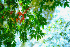 Young spring maple leaf in forest on highland and mountain, Thailand. Royalty Free Stock Photo