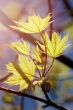 Young spring maple leaves on the branch Manchester England Royalty Free Stock Photos