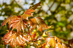 Young spring maple leaves illuminated by sunlight Royalty Free Stock Image