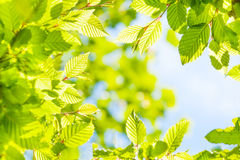 Young spring nut tree Royalty Free Stock Photo
