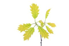 Young spring oak leaves on the branch isolated on white Royalty Free Stock Photos