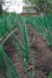 Young spring onion sprout on the field. Organically grown onions with chives in the soil. Organic farming. village nature food, royalty free stock photos