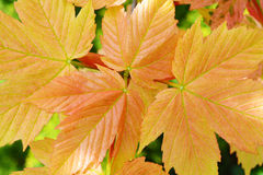 Young spring pink maple leaves. Stock Photo