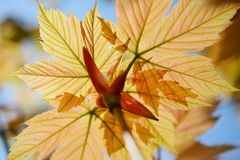 Young spring pink maple leaves. Royalty Free Stock Image