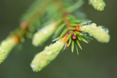 Young spring spruce tree blossoms on green background Royalty Free Stock Photos