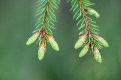 Young spring spruce tree blossoms on green background Stock Photography