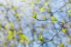Young spring twig with green leaves against blue sky, lovely landscape of nature, new life. Selective focus Royalty Free Stock Images