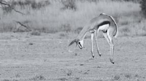 Young springbok doe prancing on a plain in the Kgalagadi artisti. Young springbok doe prancing on a plain in the Kgalagadi in artistic conversion Royalty Free Stock Photo