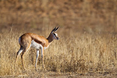 Young Springbok fawn Royalty Free Stock Image