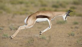 Young springbok male prancing on a plain in the Kgalagadi. Young springbok male prancing happy on a plain in the Kgalagadi stock photos