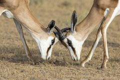 The young springbok males practice sparring for dominance on short grass royalty free stock photography