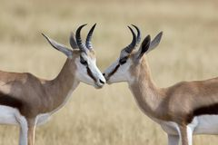The young springbok males practice sparring for dominance on short grass royalty free stock images
